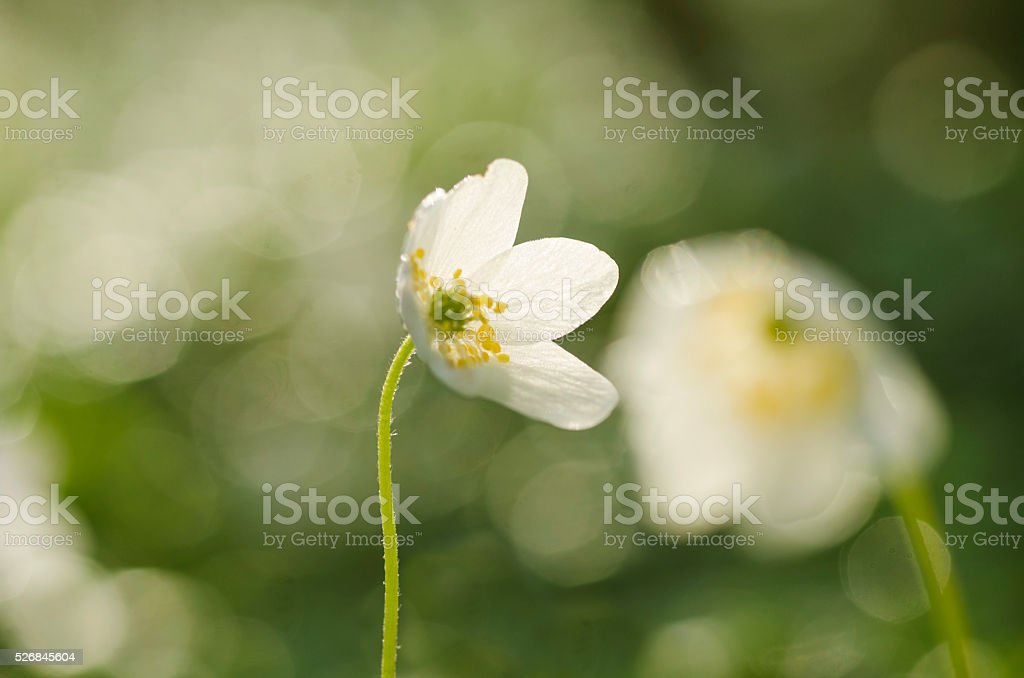 Beautiful Anemone flowers in springtime in the forest, closeup stock photo