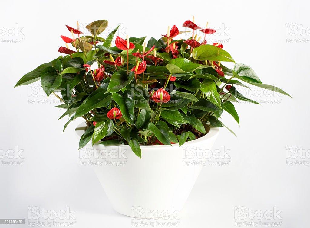 Beautiful Anthurium Flower Plant on White Pot stock photo