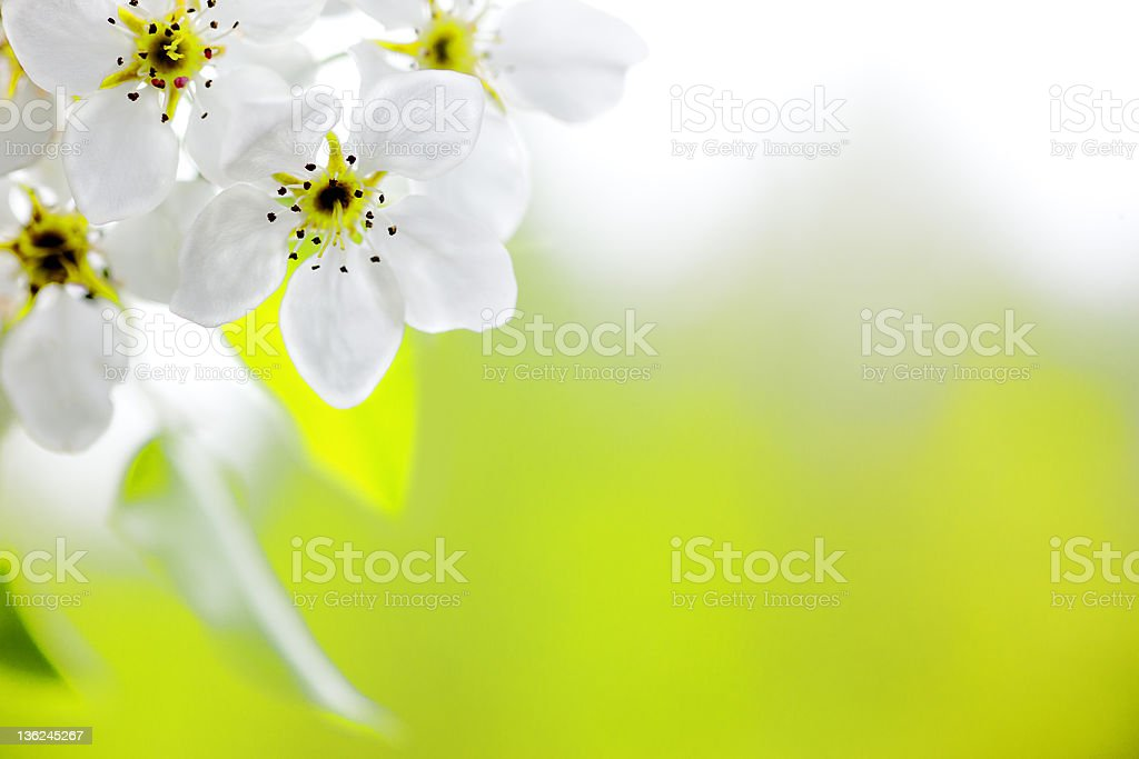 Beautiful Apple blossoms with a blurred background royalty-free stock photo