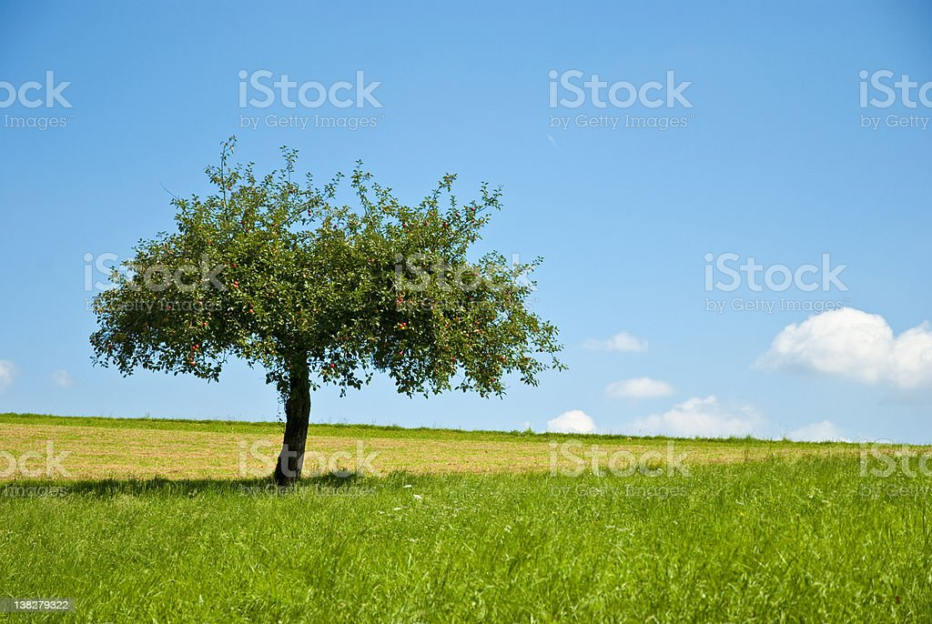 Beautiful apple tree an green meadow stock photo