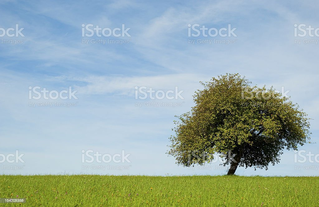 Beautiful apple tree on green meadow royalty-free stock photo