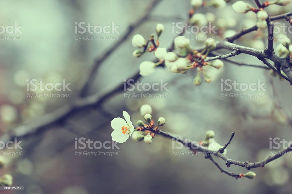 beautiful apricot tree buds in spring stock photo