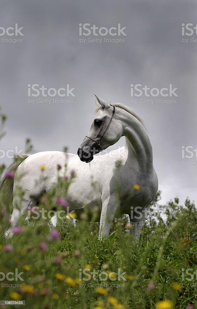 Beautiful arabian breeding mare stock photo