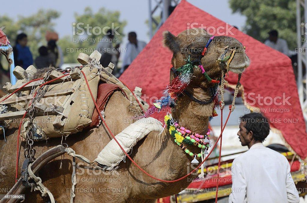 beautiful arabian camel at cattle fair in Pushkar,Thar desert royalty-free stock photo