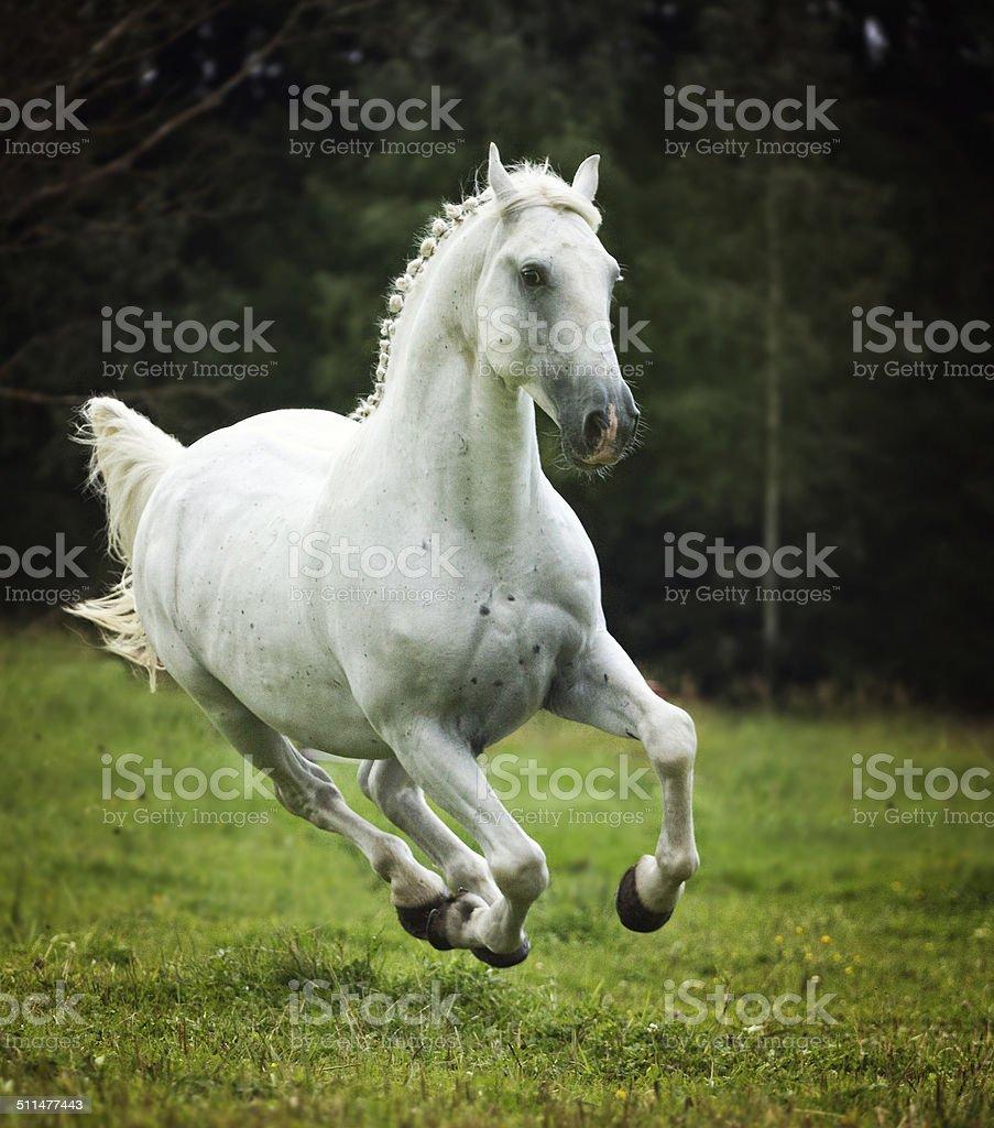 beautiful arabian horse lipizzaner running in nature stock photo