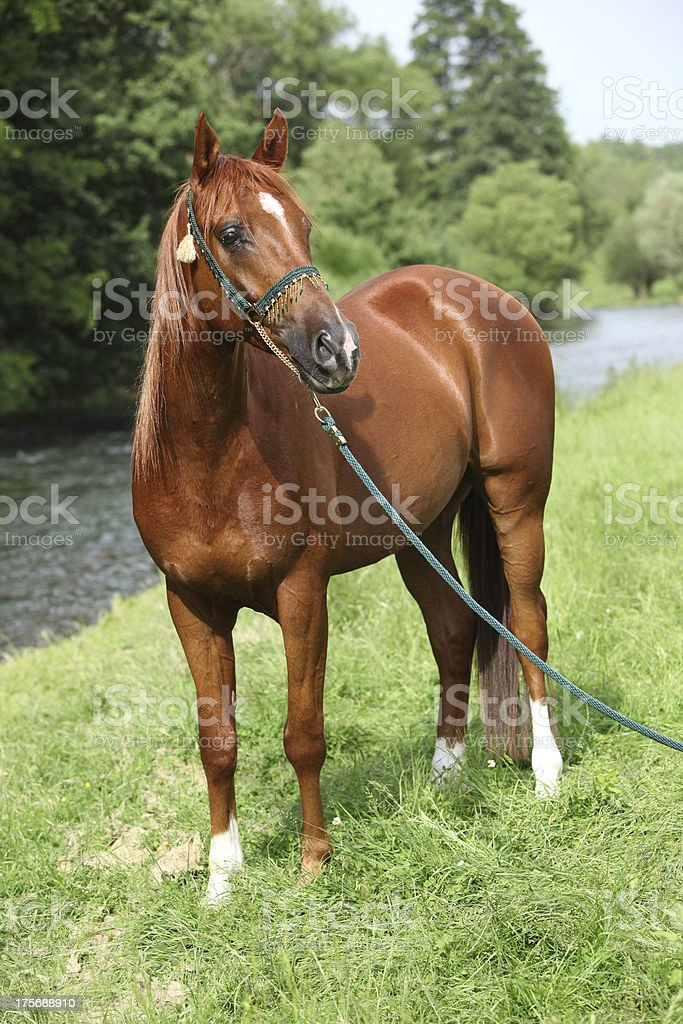 Beautiful arabian horse with nice show halter royalty-free stock photo