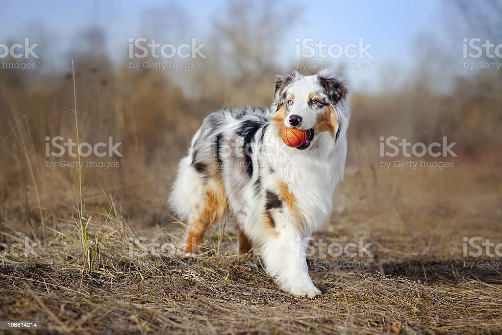Beautiful Australian Shepherd walking stock photo