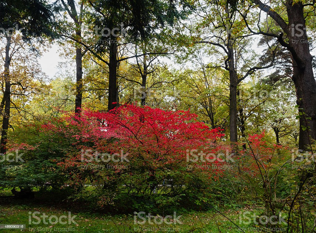 Beautiful autumn Bush Euonymus bright crimson. stock photo