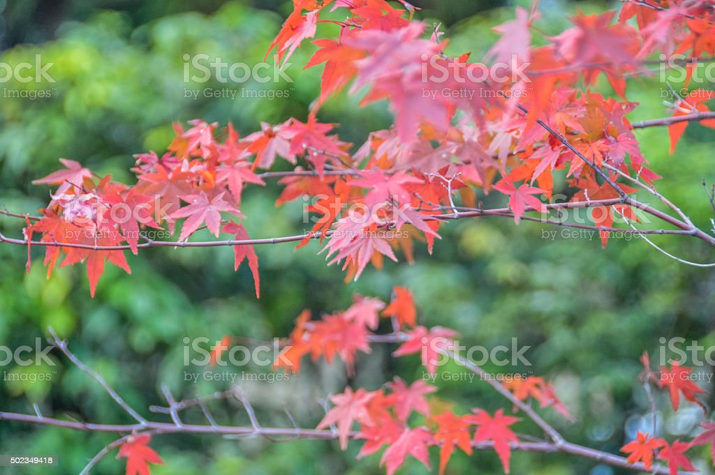 Beautiful autumn leaves and foliage in Kyoto, Japan stock photo