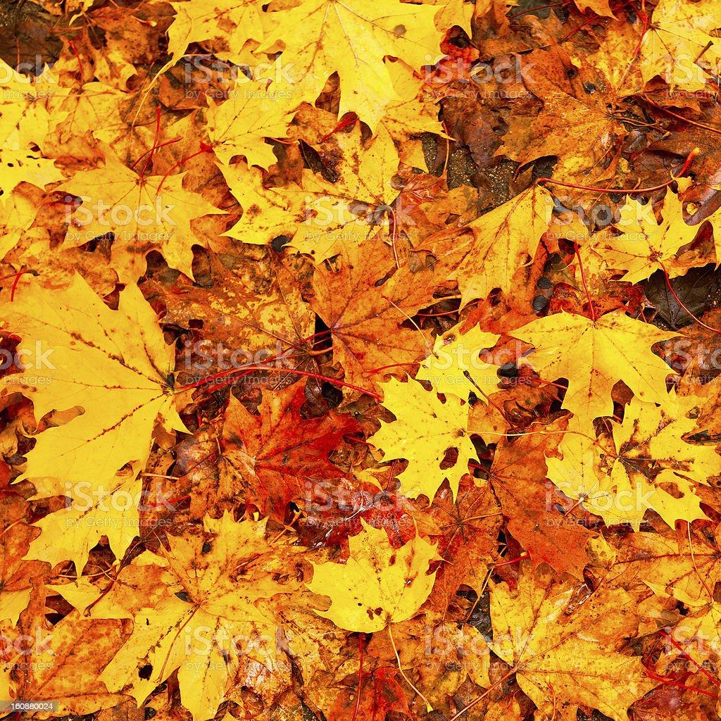 Beautiful autumn leaves royalty-free stock photo