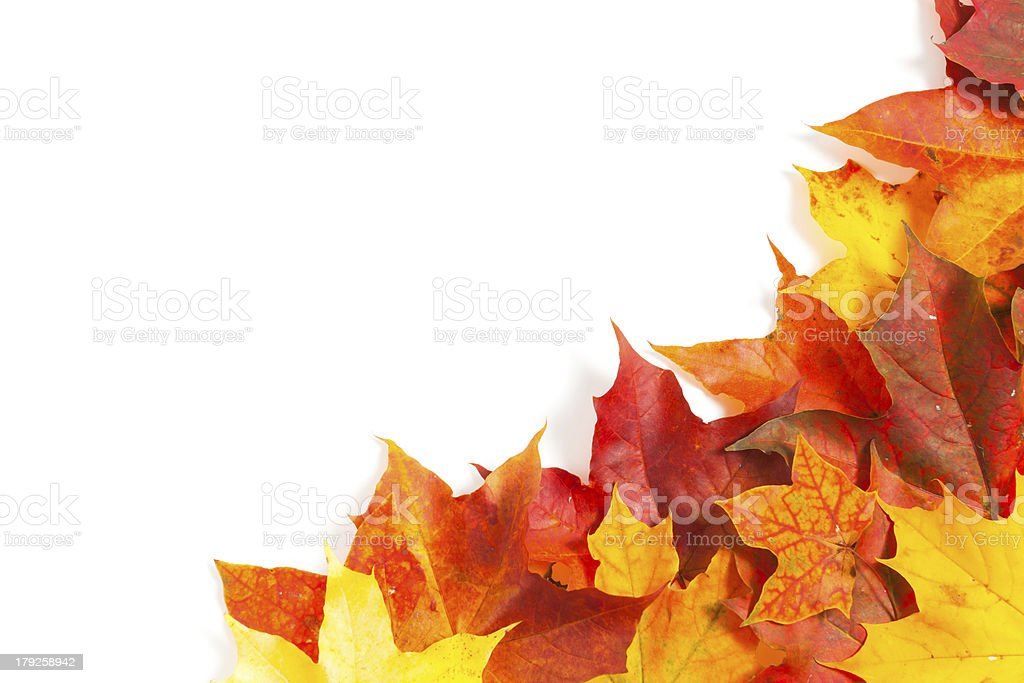 Beautiful autumn maple leaves royalty-free stock photo