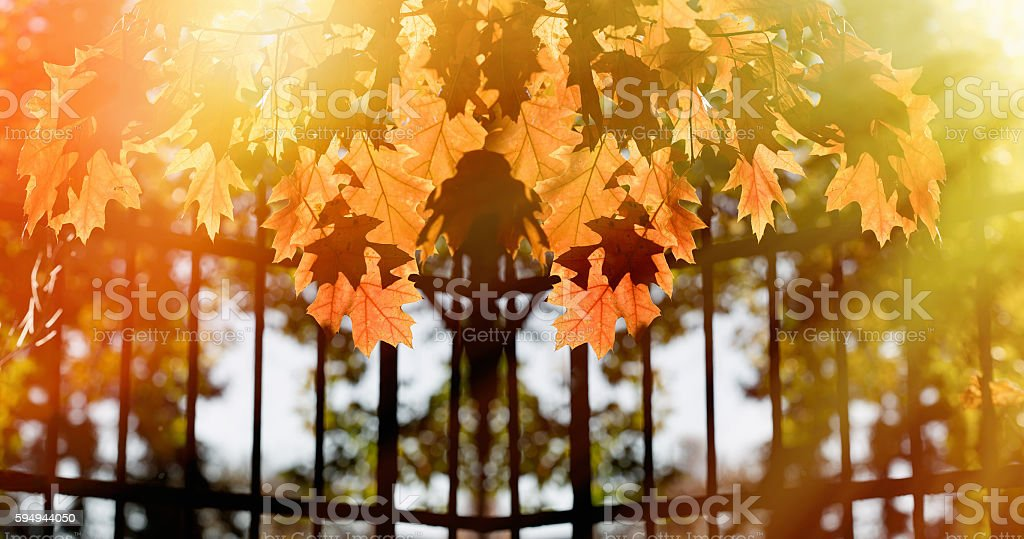 Beautiful autumnal leaves lit by the afternoon sun stock photo