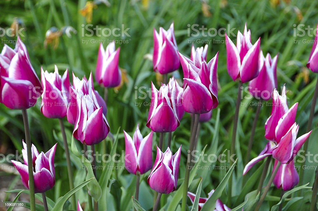 Beautiful background from tulips royalty-free stock photo