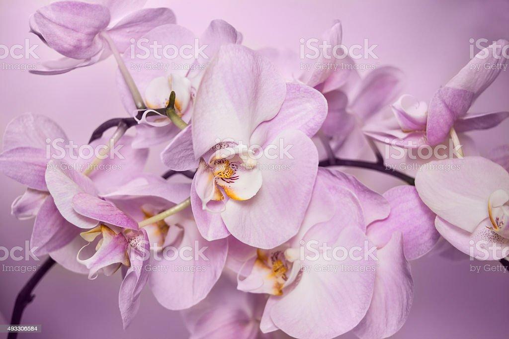 Beautiful background of Phalaenopsis orchid flowers stock photo