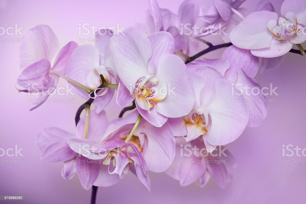 Beautiful background of Phalaenopsis orchid flowers. stock photo