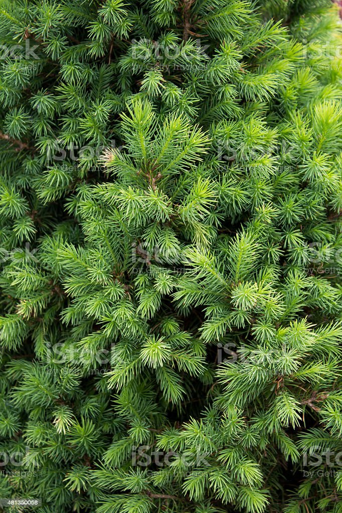 beautiful background of pine branches stock photo