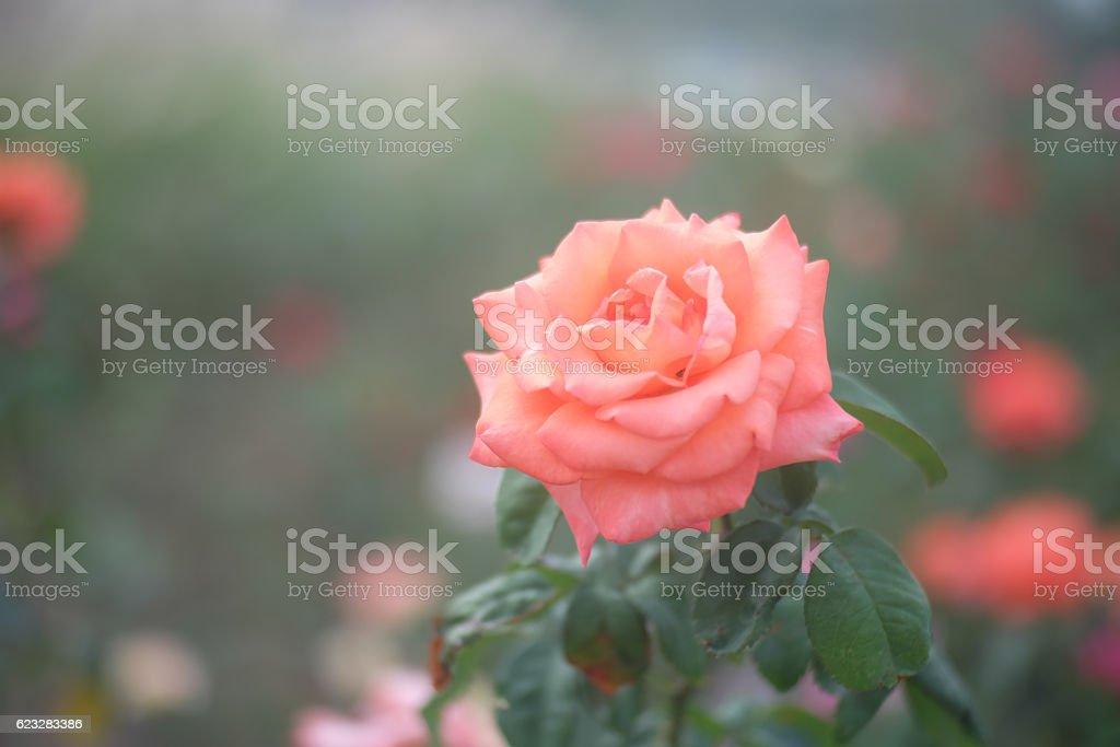 Beautiful background. orange rose flower stock photo