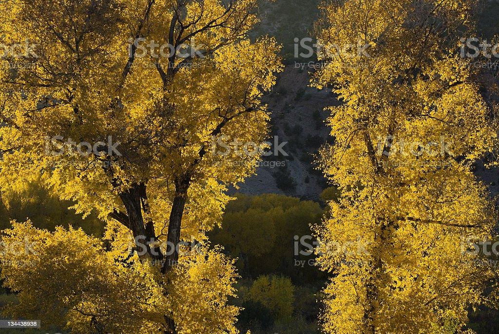 Beautiful Backlit Cottonwoods in Fall Autumn Splendor stock photo