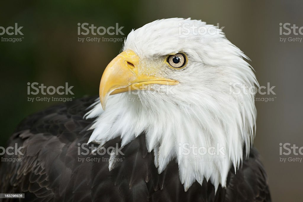 Beautiful Bald Eagle (Haliaeetus leucocephalus) royalty-free stock photo