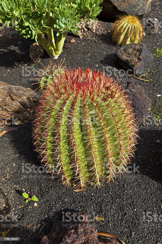 beautiful ball cactus in Lapilli earth royalty-free stock photo
