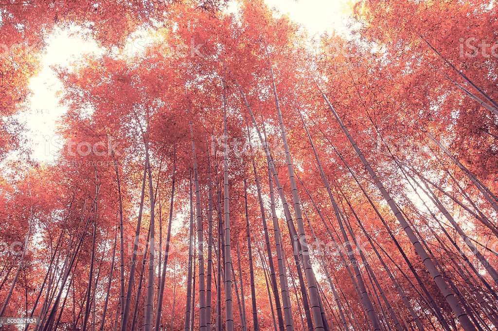 Beautiful bamboo forest agianst sunlight from bottom view stock photo