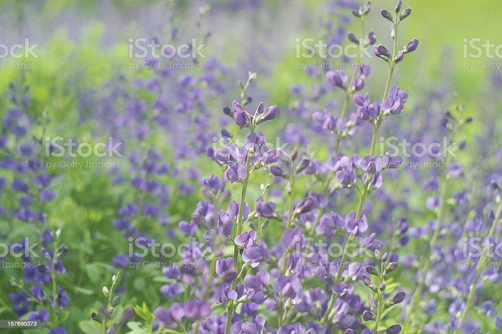 Beautiful Baptisia Garden stock photo