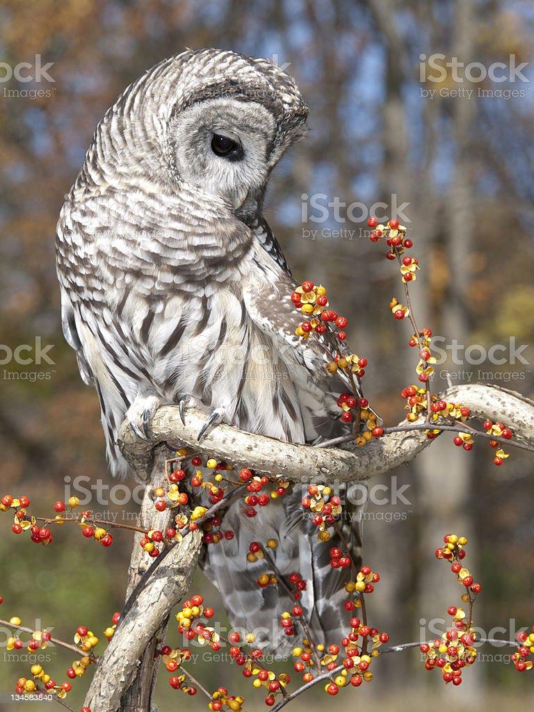 Beautiful Barred Owl stock photo