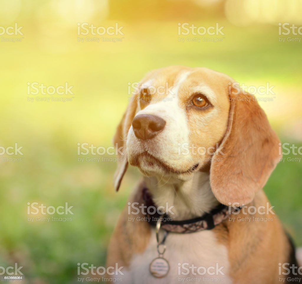 Beautiful Beagle dog portrait outdoors stock photo