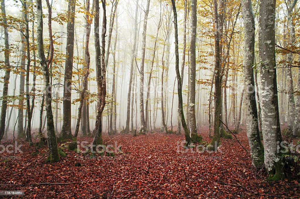 Beautiful beech forest with fog royalty-free stock photo