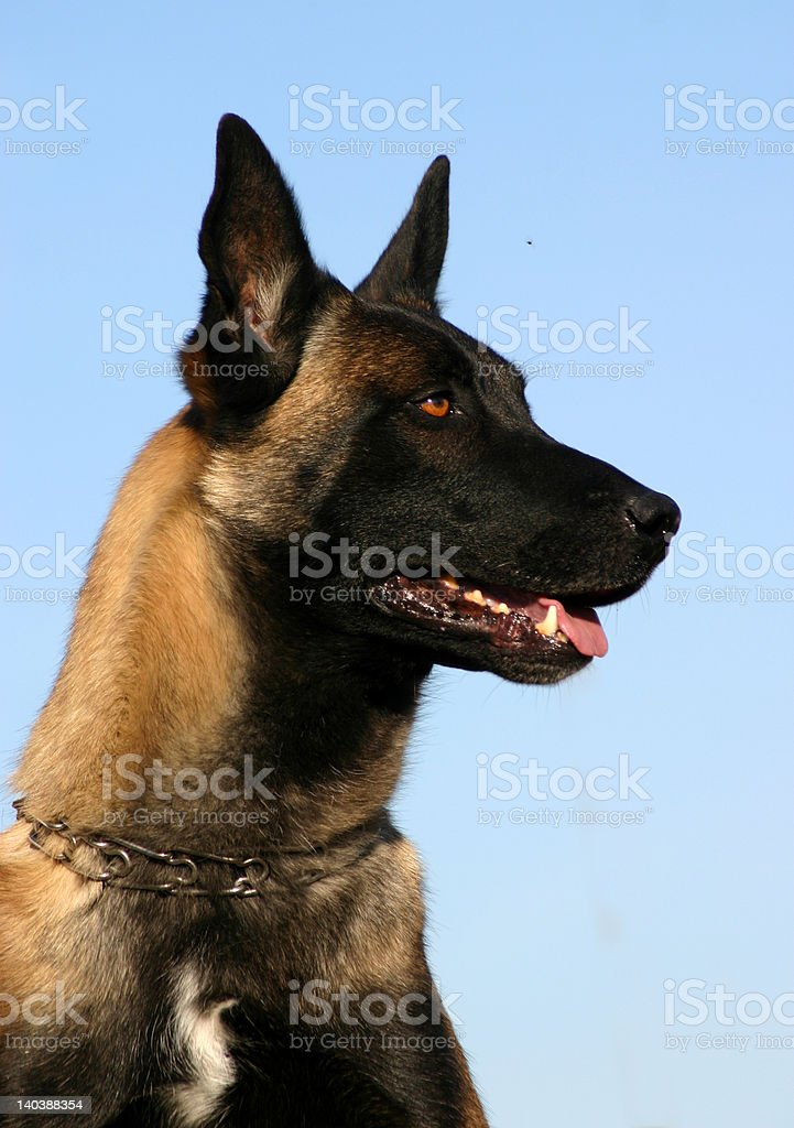 beautiful belgian shepherd stock photo