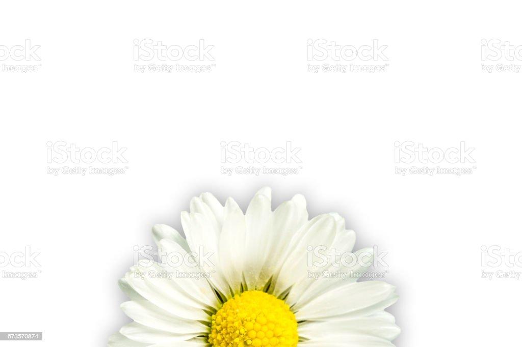 beautiful bellis perennis flower isolated on blue background stock photo
