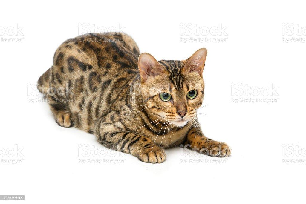 Beautiful bengal cat stock photo