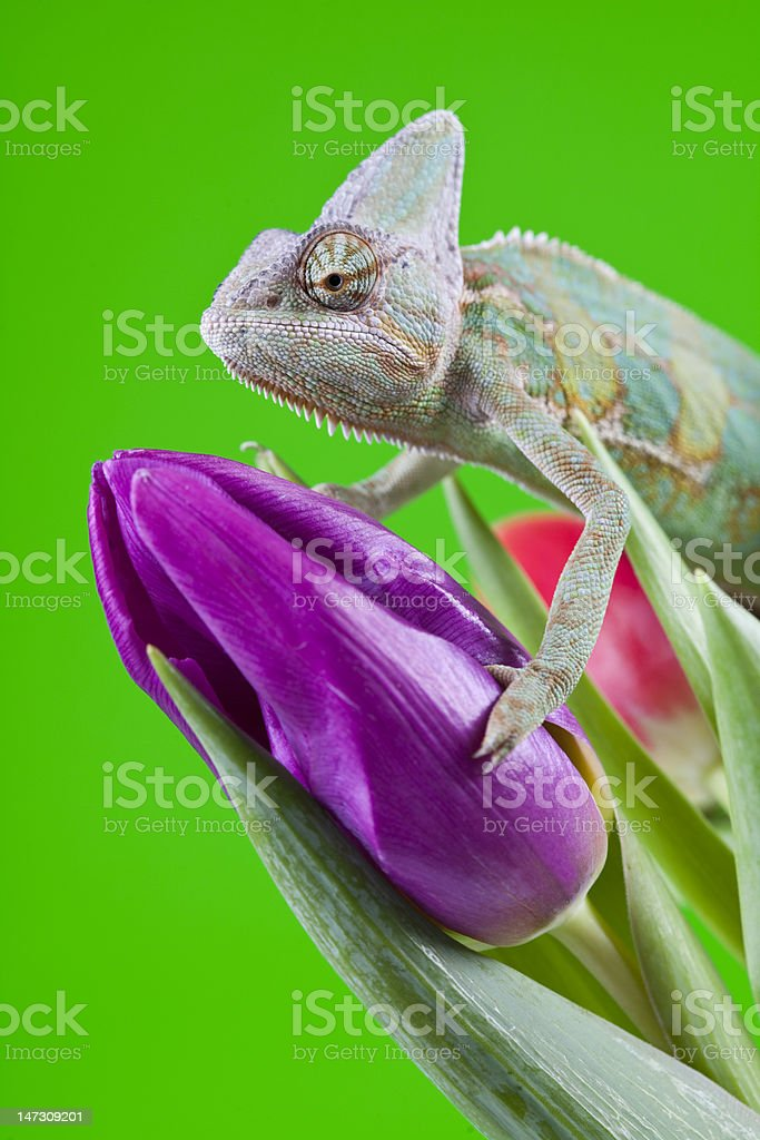 Beautiful big chameleon royalty-free stock photo
