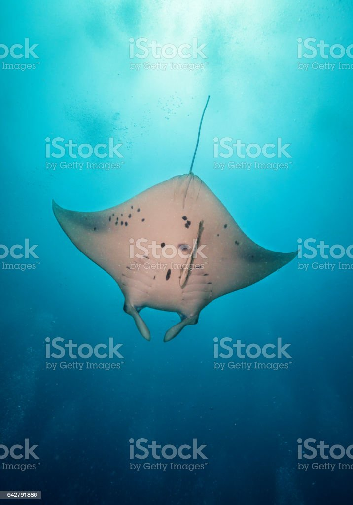 Beautiful big manta ray in deep blue ocean stock photo