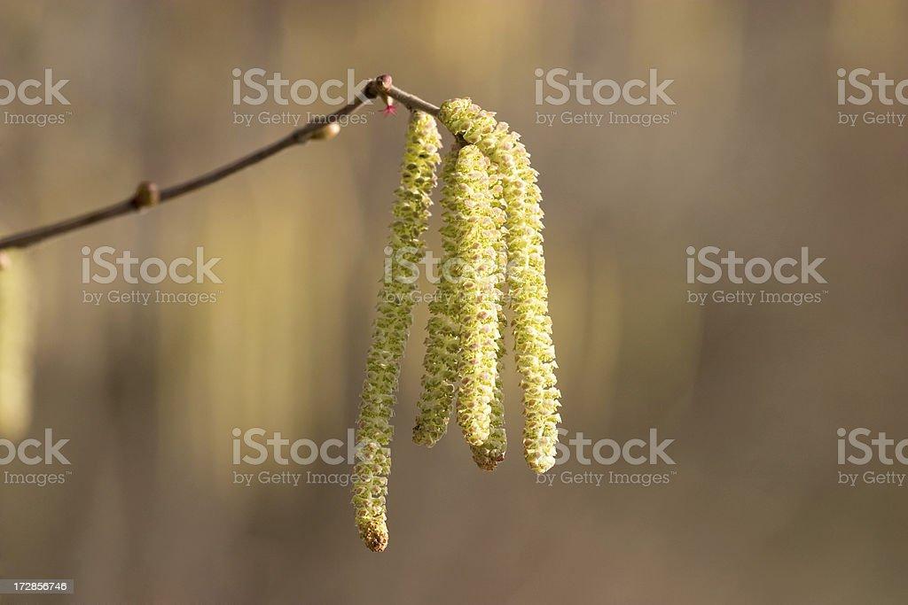 beautiful birch catkin stock photo