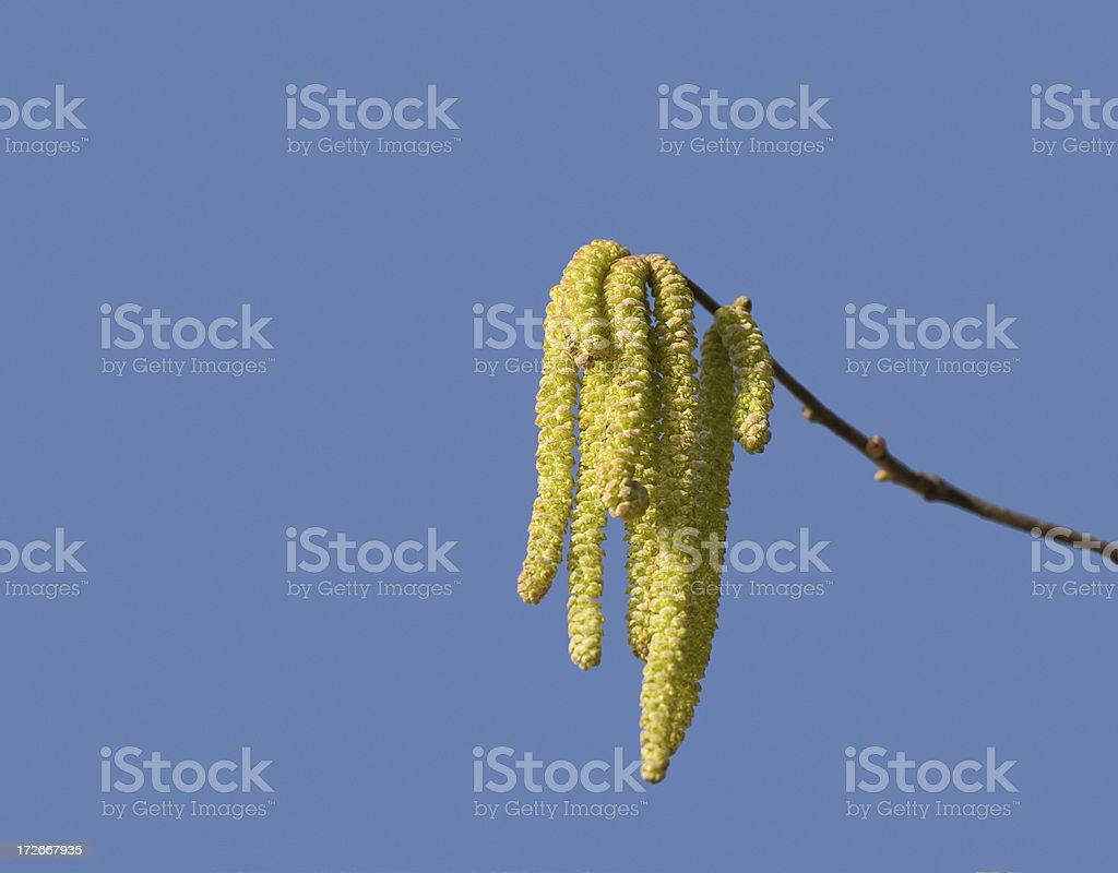 beautiful birch catkins stock photo