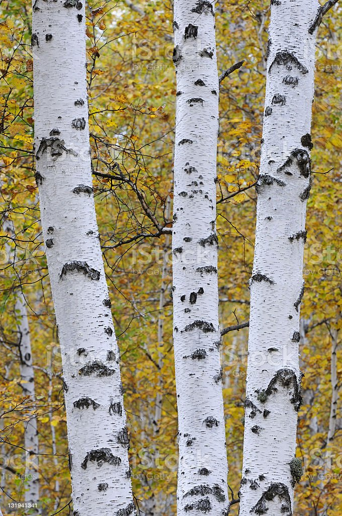 Beautiful birch in the forest stock photo