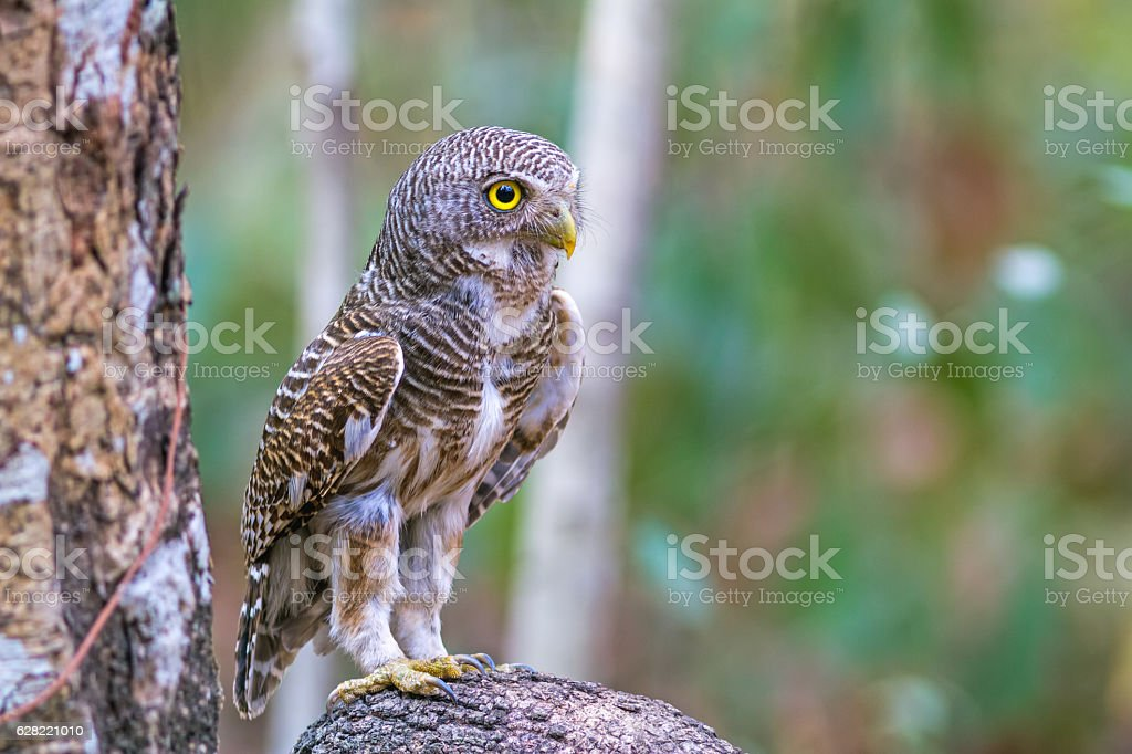 Beautiful bird  Asian Barred Owlet (Glaucidium cuculoides)  on branch stock photo