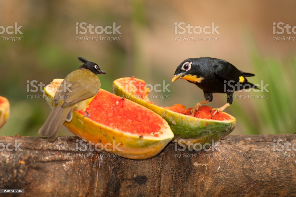 Beautiful bird Black-crested Bulbul Pycnonotus melanicterus perched on a banana. stock photo