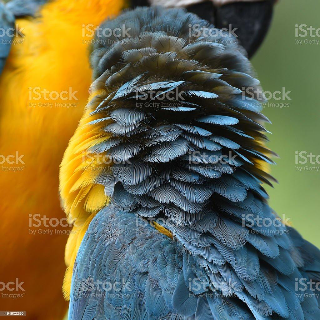 Oiseaux vue magnifique, Ara bleu et or photo libre de droits