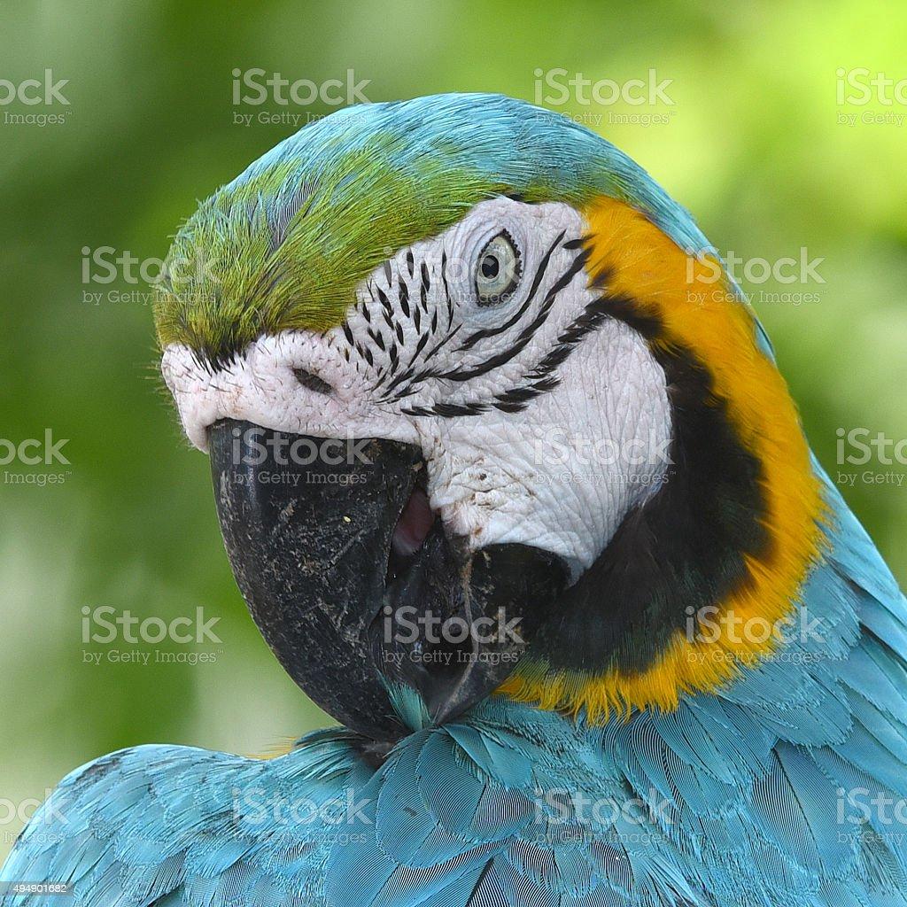 Oiseau vue magnifique, bleu et or Macao photo libre de droits