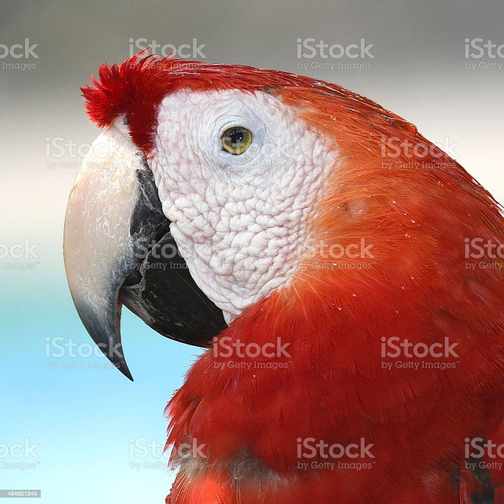 Vue magnifique, d'oiseaux Ara macao. photo libre de droits