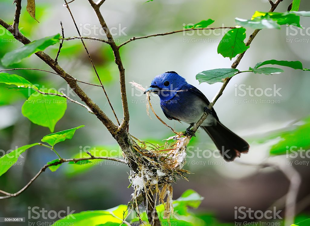 Beautiful Bird (Black-naped Monarch) in nature, in Thailand stock photo