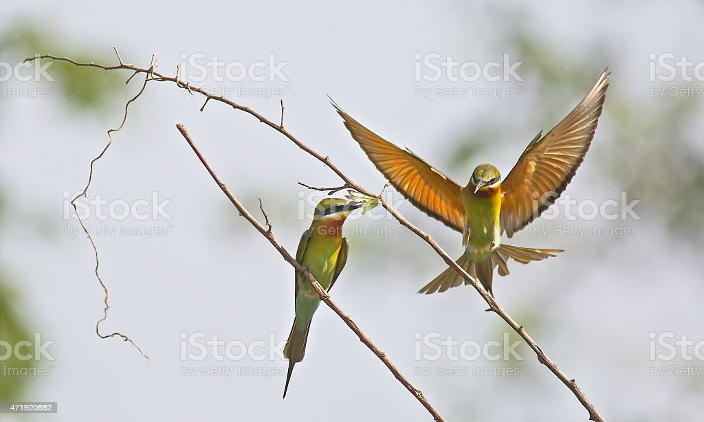 Beautiful bird (Blue-tailed bee-eater) in nature stock photo