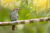 Beautiful bird with white and brown bars  perches on branch