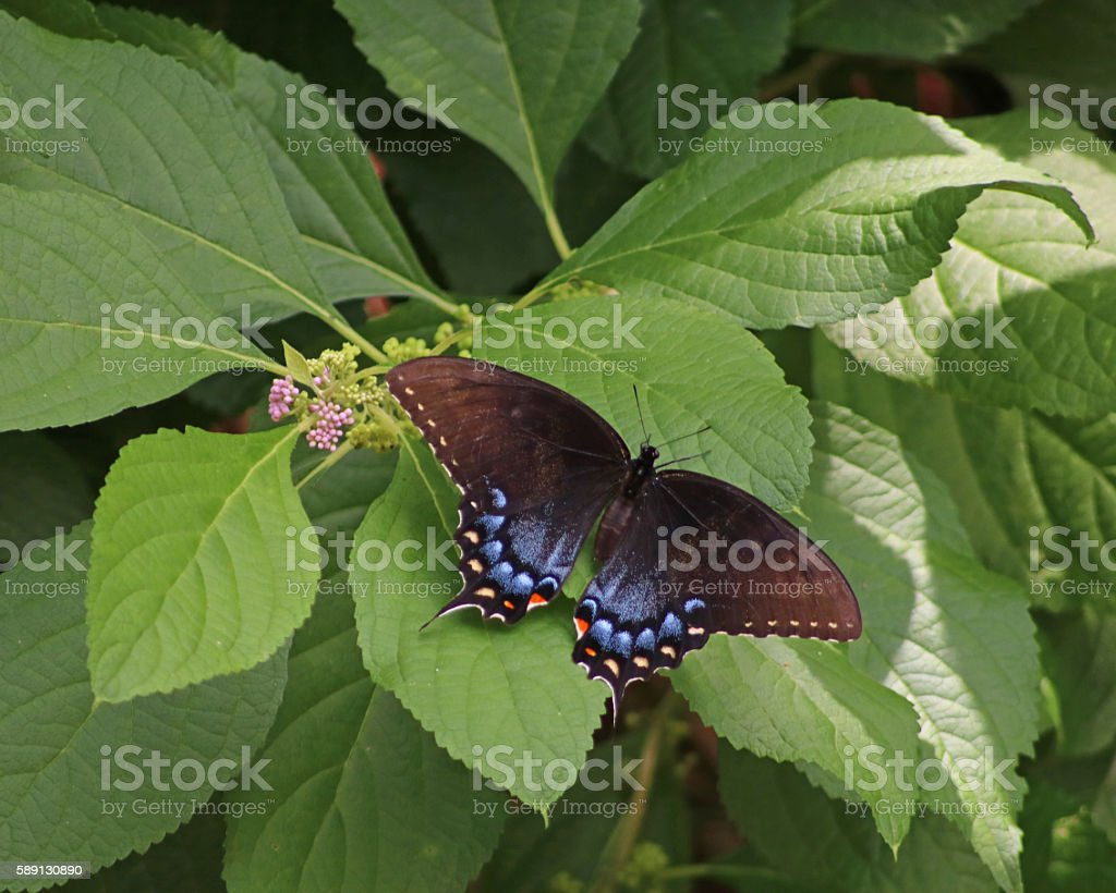Beautiful black and blue Swallowtail butterfly photo libre de droits