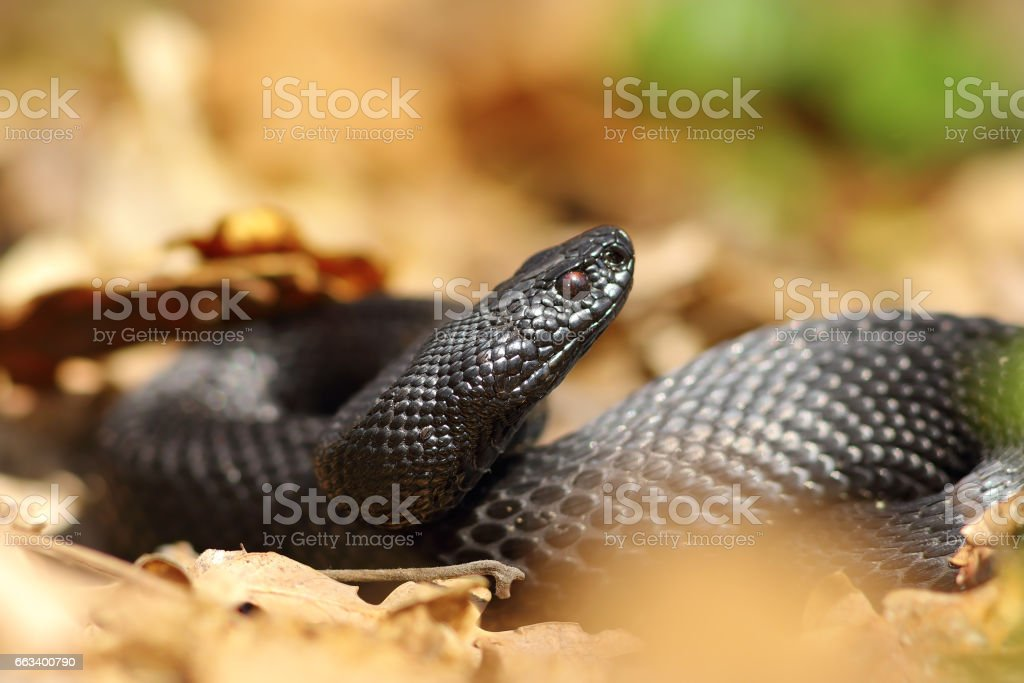 beautiful black european adder in natural habitat stock photo
