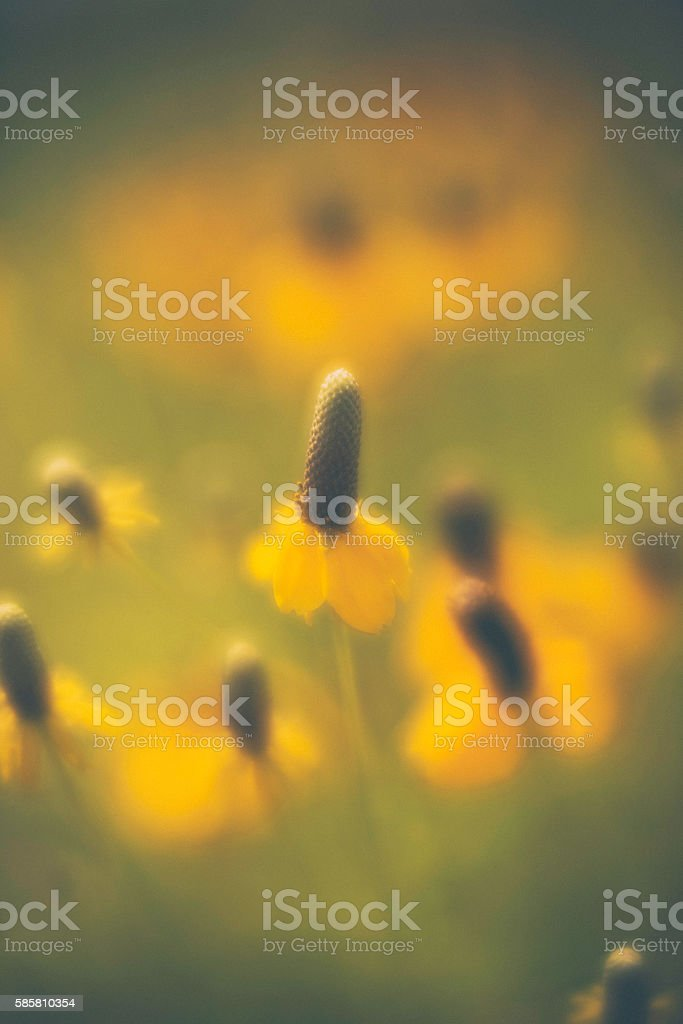 Beautiful black eyed Susan wildflowers in field with sunlight stock photo