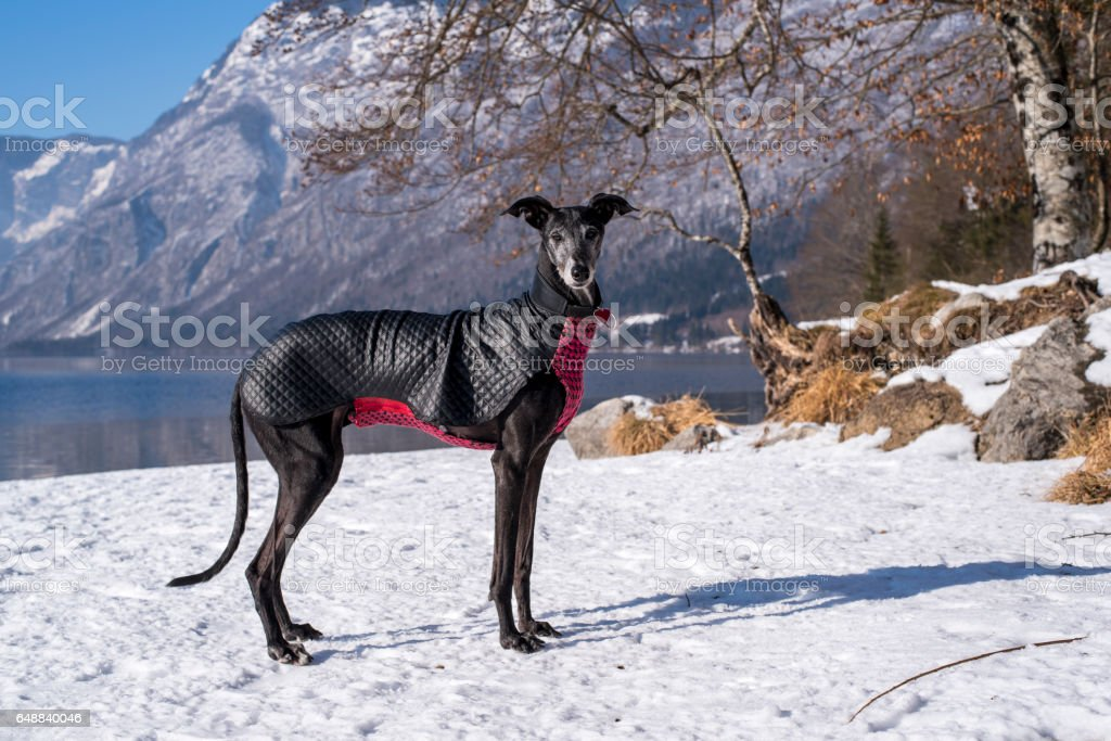 Beautiful black greyhound in the mountains stock photo