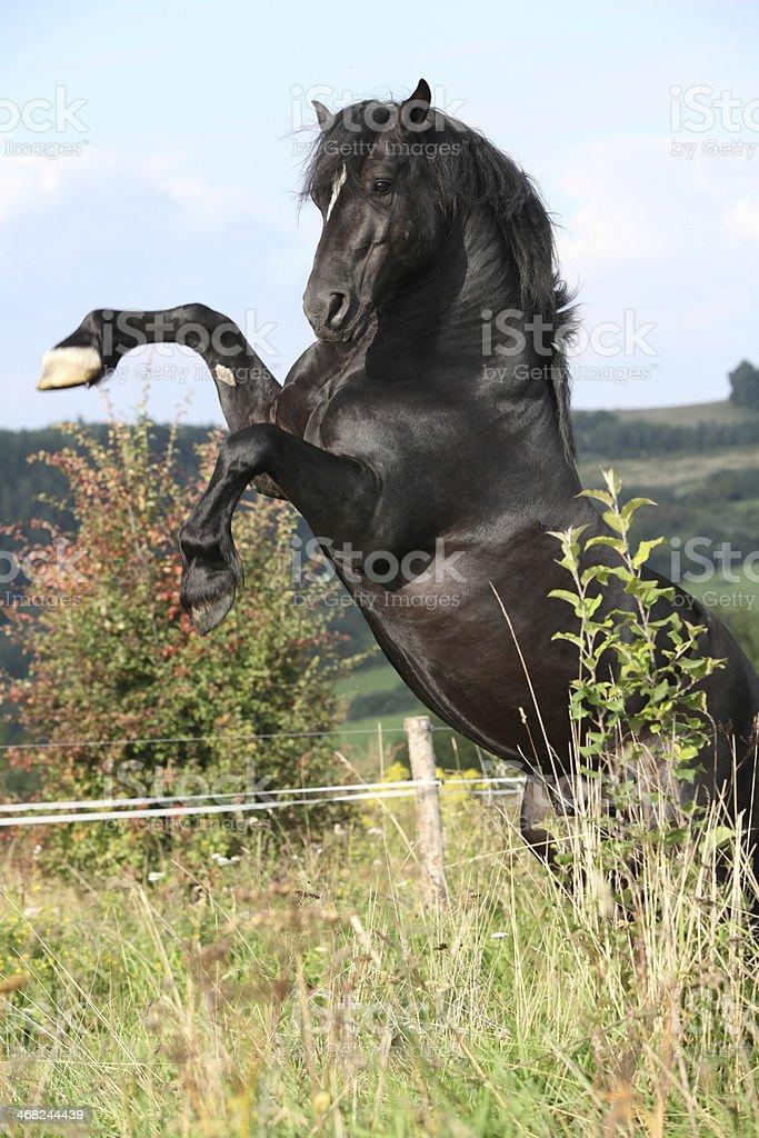 Beautiful black horse prancing on pasturage stock photo